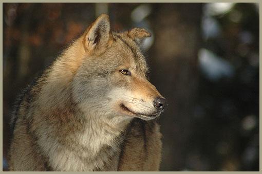 wolf-01.jpg