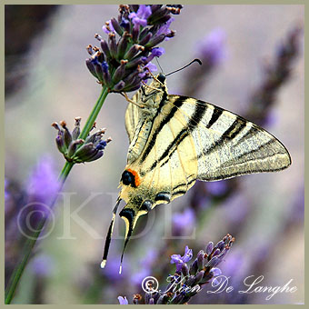 vlinders-39