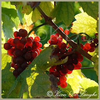 wijngaard-07bis