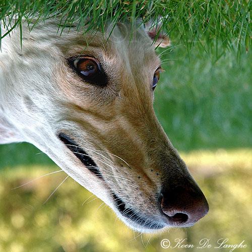 Honden 130bis