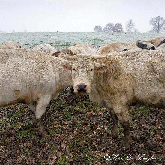 twee-koeie,-1-hoofd